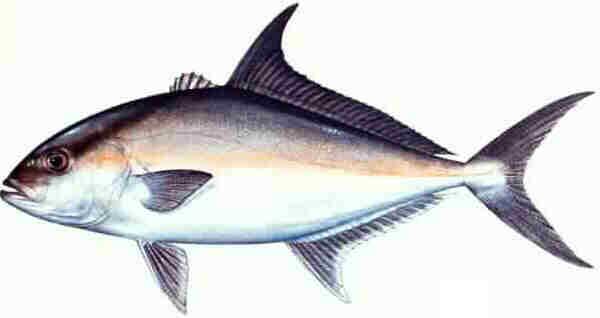 سمكة Almaco jack معلومات وصور